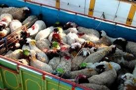 شیوخ عرب مشتریان پر و پا قرص گوسفندان ایرانی