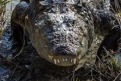 مشاهده رد پای تمساح در دریاچه چیتگر
